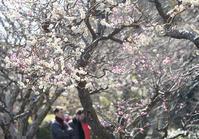 鎌倉長谷寺の梅 - エーデルワイスPhoto