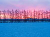 カラマツ防風林のバックは美しい朝焼けの風景。 - 十勝・中札内村「森の中の日記」~café&宿カンタベリー~