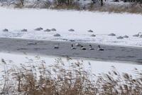 ミコアイサも戻った長都沼 - 今日の鳥さんⅡ