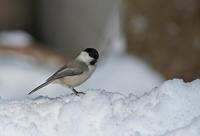 コガラ - 今日も鳥撮り