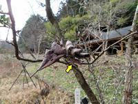 越冬中のテングチョウ - 秩父の蝶