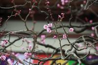 西新井大師節分の後は立春の後の「ウメ」 - meの写真はザンス