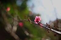 梅園の梅が咲き出してきました。 - 蓮華寺池の隣5