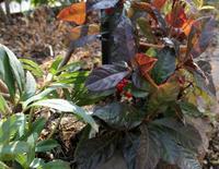 庭の様子:ヤブコウジ - ひだまりの庭 ~ヒネモスノタリ~