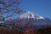 梅と富士山そして野鳥 - kurione9の気儘なフォトブログ