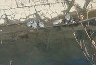 2月4日は季節外れの暖かさで、海老川でカメが甲羅干しをしてた。 - 草の庵日録