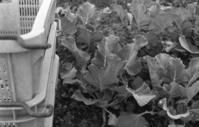 ブロッコリー ~収穫後~ - ページをめくるように