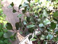 Coprosma Brockii - Gardener*s Diary