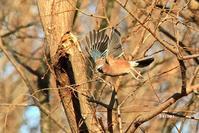 カケスの飛び出し - barbersanの野鳥観察
