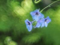 花ちょう館の高山植物たち2 - 光の音色を聞きながら Ⅳ