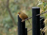 雨の朝・・・ガビチョウ - 浅川野鳥散歩