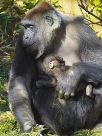 ゲンキ母さんと息子たち[京都市動物園] - a diary of primates