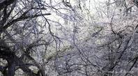 樹氷とマヒワ - 雅郎の花鳥風月