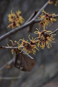 シナマンサクの花が咲きました - 光画日記