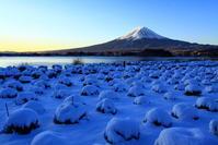 31年2月の富士(4)雪のラベンダーと富士 - 富士への散歩道 ~撮影記~