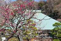 鎌倉・浄妙寺の梅 - エーデルワイスPhoto