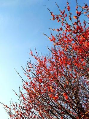 紅色の春 - 農と自然のさんぽみち・やまだ農園日記
