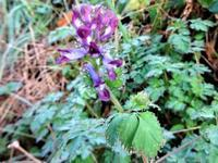 紫華鬘 - だんご虫の花