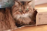 欲張りな箱好き猫 - きょうだい猫と仲良し暮らし