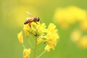 菜の花と蜜蜂 -
