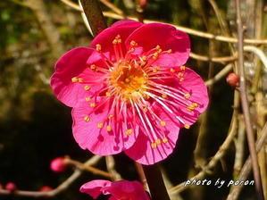 一重深紅の梅・「緋梅」が開花しています。 - デジカメ散歩悠々