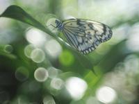 花ちょう館の蝶たち1 - 光の音色を聞きながら Ⅳ