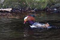隣県のオシドリ(6)水浴び - 銀狐の鳥見