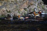 隣県のオシドリ(8)攻撃的 - 銀狐の鳥見