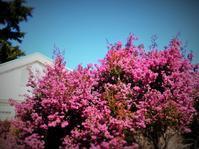 春を集めて…。ピンク編 - のーんびり hachisu 日記