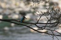 カワセミ恋の季節始まる - 阪南カワセミ【野鳥と自然の物語】