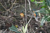 カワセミ雄が雌に餌を口ばし移し・・ - 阪南カワセミ物語