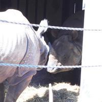 インドサイ・カップルの同居@金沢動物園 2019.02.03 - ごきげんよう 犀たち