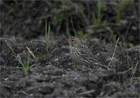 今シーズンのムネアカタヒバリ - 野鳥がいるから