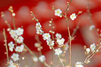 荏柄天神社の梅を85mm F1.4 GM レンズで撮影 - エーデルワイスPhoto