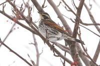 ナナカマドの並木で - 今日の鳥さんⅡ