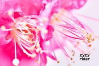 濡れた長いシベの曲線(紅梅) - ジージーライダーの自然彩彩