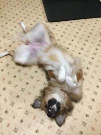 ストライキ - 琉球犬mix白トゥラーのピカ
