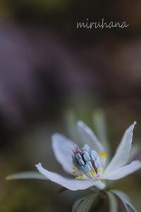 小さな春。 - MIRU'S PHOTO