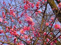 紅梅八分咲と北原亞以子2月8日(金) - しんちゃんの七輪陶芸、12年の日常