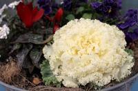 美味しそうな葉ボタン - ひだまりの庭 ~ヒネモスノタリ~