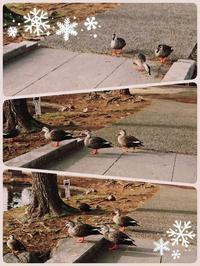 鴨とシェイク - 不透明な水晶