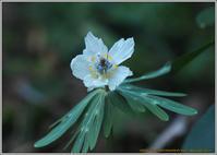 節分草の季節 - 野鳥の素顔 <野鳥と日々の出来事>