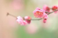 『梅の花』 - 心 色