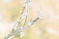 2月の北鎌倉円覚寺の梅とつるし飾り - エーデルワイスPhoto