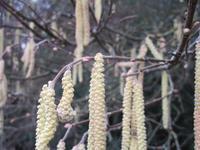 ヘーゼルナッツの雌花が咲き始めた! - フランス Bons vivants des marais