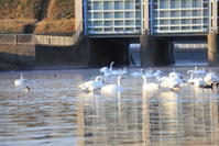 川島町白鳥飛来地- 2 - - うろ子とカメラ。