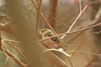 保存林のシメ Hawfinch - 素人写人 雑草フォト爺のブログ