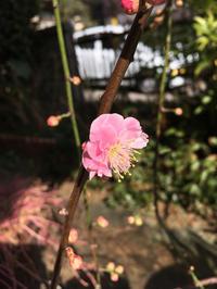 梅が咲いてくれました。 - 『HARETOEN』ハレトエンの日々。
