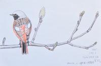#野鳥スケッチ #ネイチャー・ジャーナル 『ジョウビタキ』Daurian redstart - スケッチ感察ノート (Nature journal)