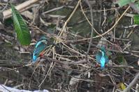 カワセミ2回目の求愛行動 - 阪南カワセミ【野鳥と自然の物語】